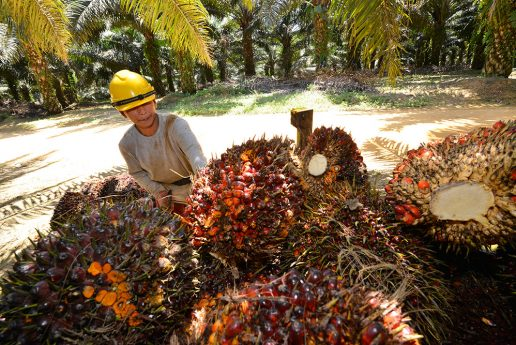 Produces Oil Palm Clones